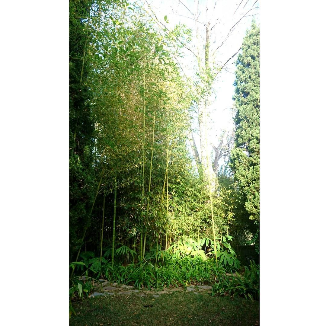 Bambú dream #jpdesigner #design #oldgarden #gardenlaboratory #artist #bambú #hedychium #beautyfull #photographer #forest #green #light #picoftheday #picture #garden #Marbella