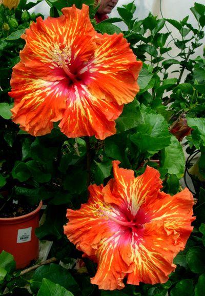 Hidden Valley Hibiscus Hibiscus Plant Growing Hibiscus Hibiscus Flowers
