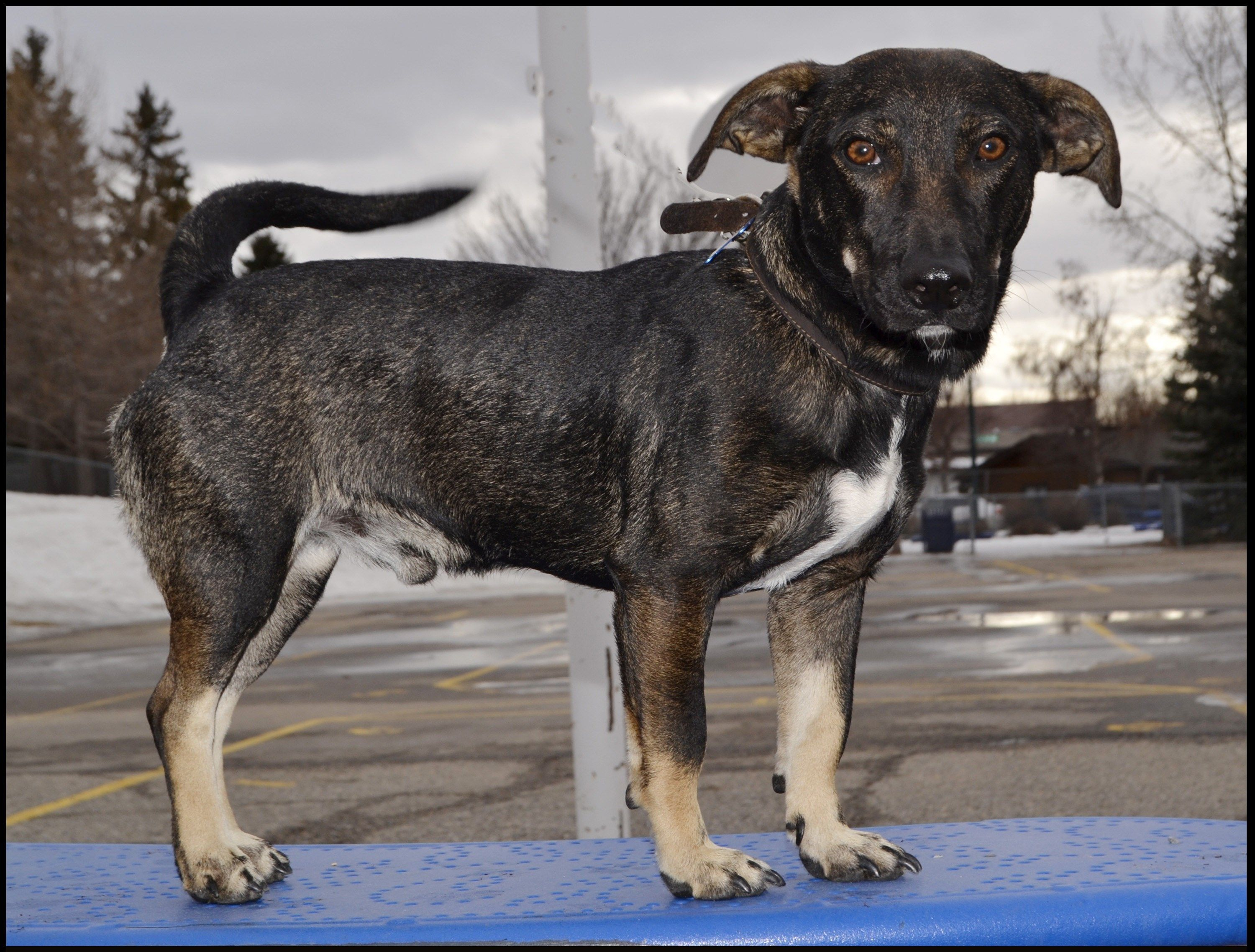 Tracer Pawsitive Match Rescue Foundation Calgary Based Dog And