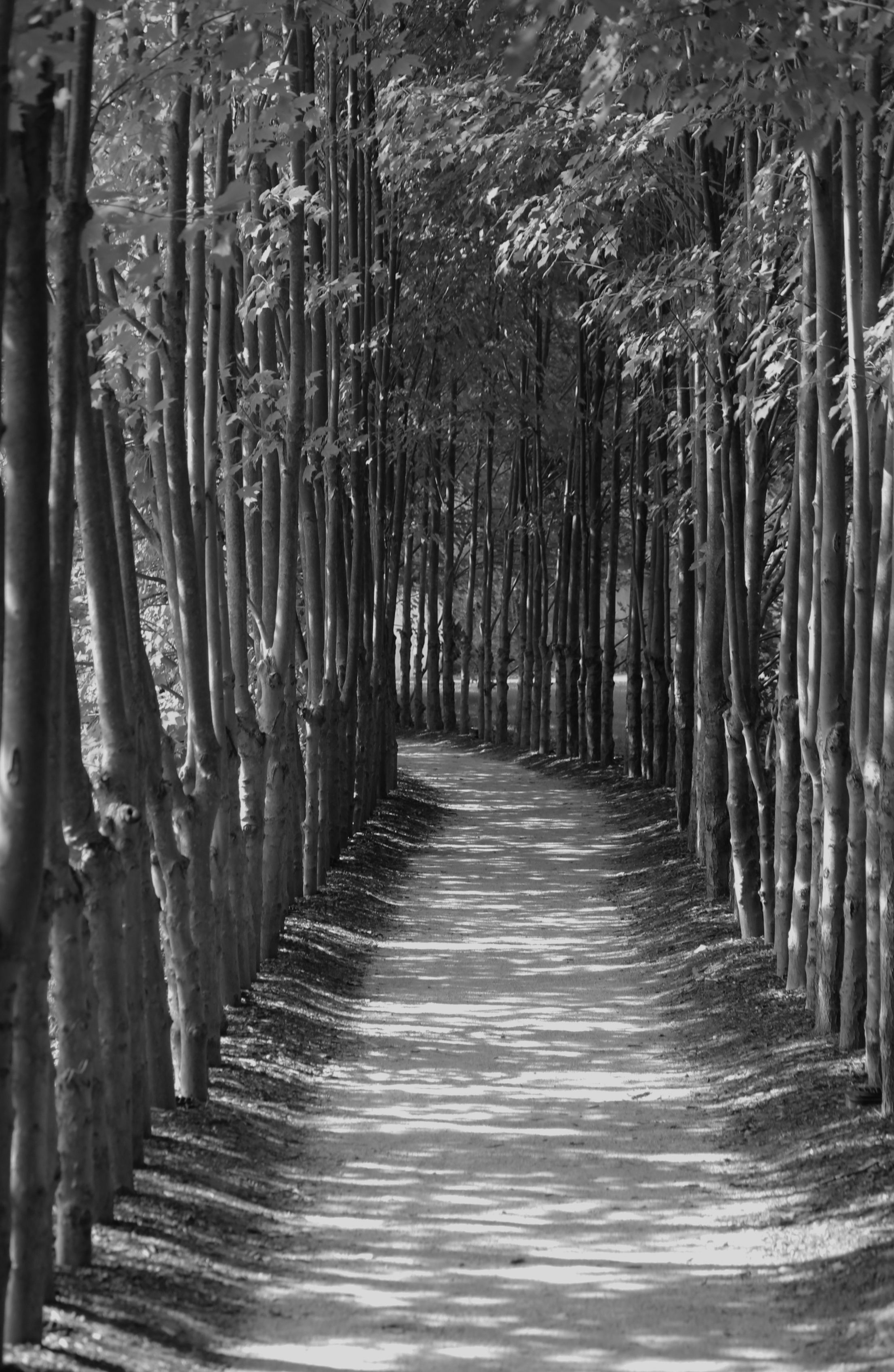 Tree lined path in black and white Tree line, Paths