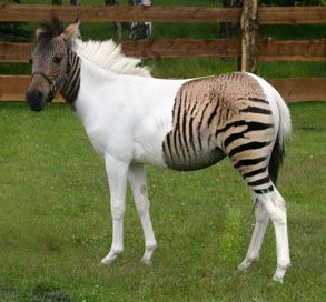 Hybrid Animals : Weird Animals | Animal Danger Very cool horse/Zebra cross  - Real