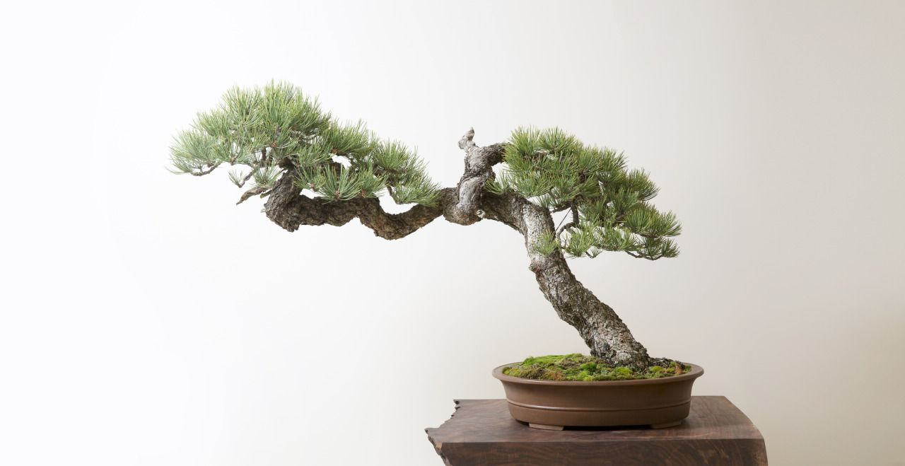 Portlandjapanesegarden Bonsai Tree Bonsai Bonsai Art