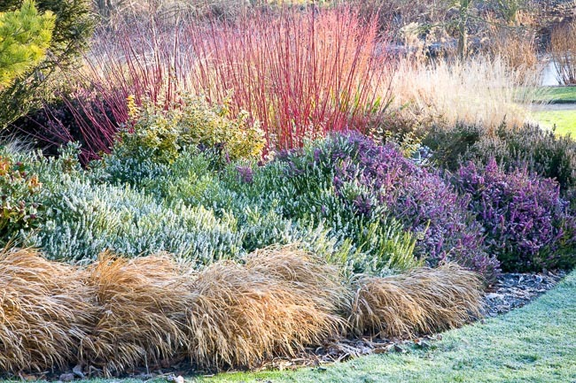 A Glowing Winter Border with Dogwood, Heath and Grasses
