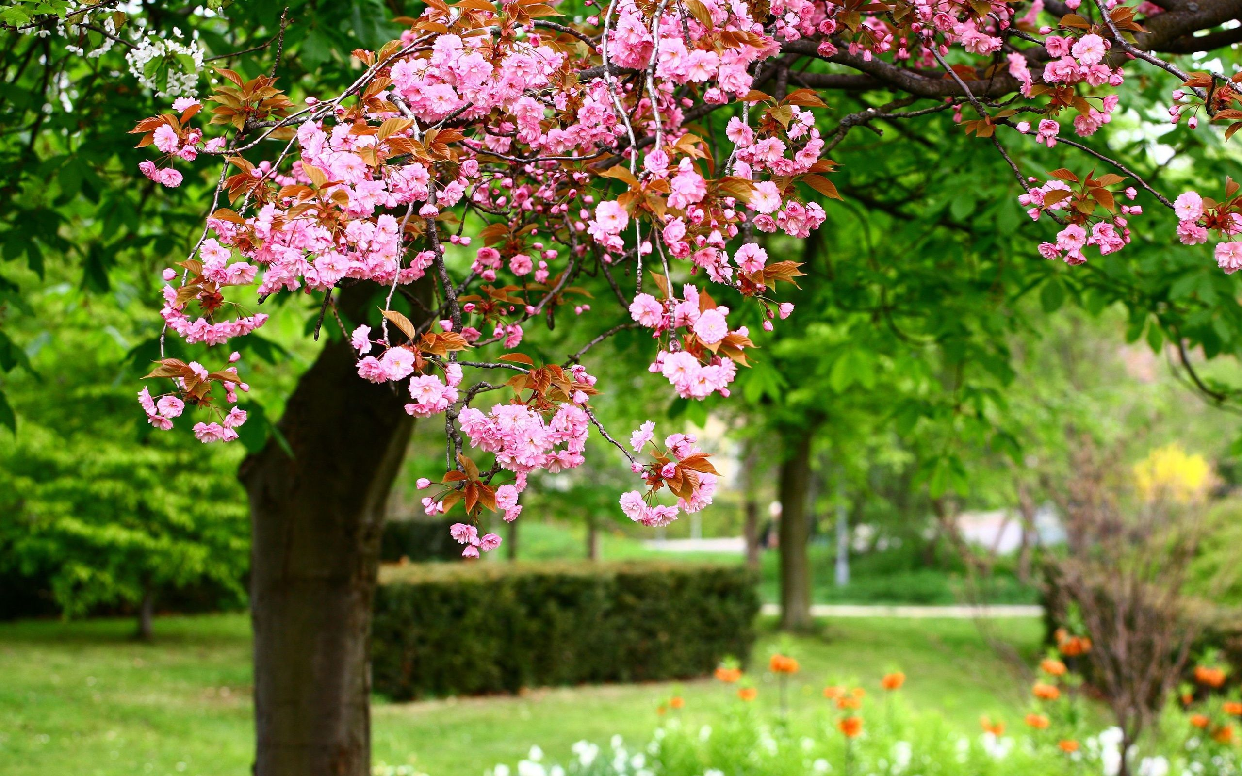 Spring Flowers Background Spring Trees Blooms Wallpapers Pictures