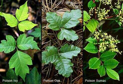 Identify Poison Ivy, Oak, Sumac