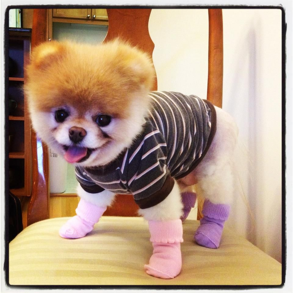 Boo In Socks Don T You Just Want To Punch This Dog In The Face Because It S So Cute No Oh Cute Animals Dog Friends Pets