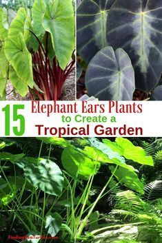 Grow Elephant Ears for a Tropical Garden Look - Finding Sea Turtles