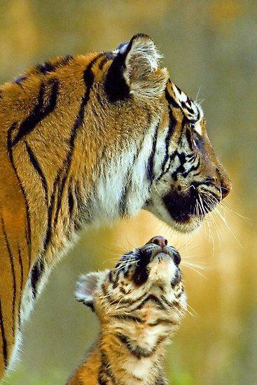 ~~Hero ~ Sumatran Tiger Cub looks up to Mom by Mundy Hackett~~