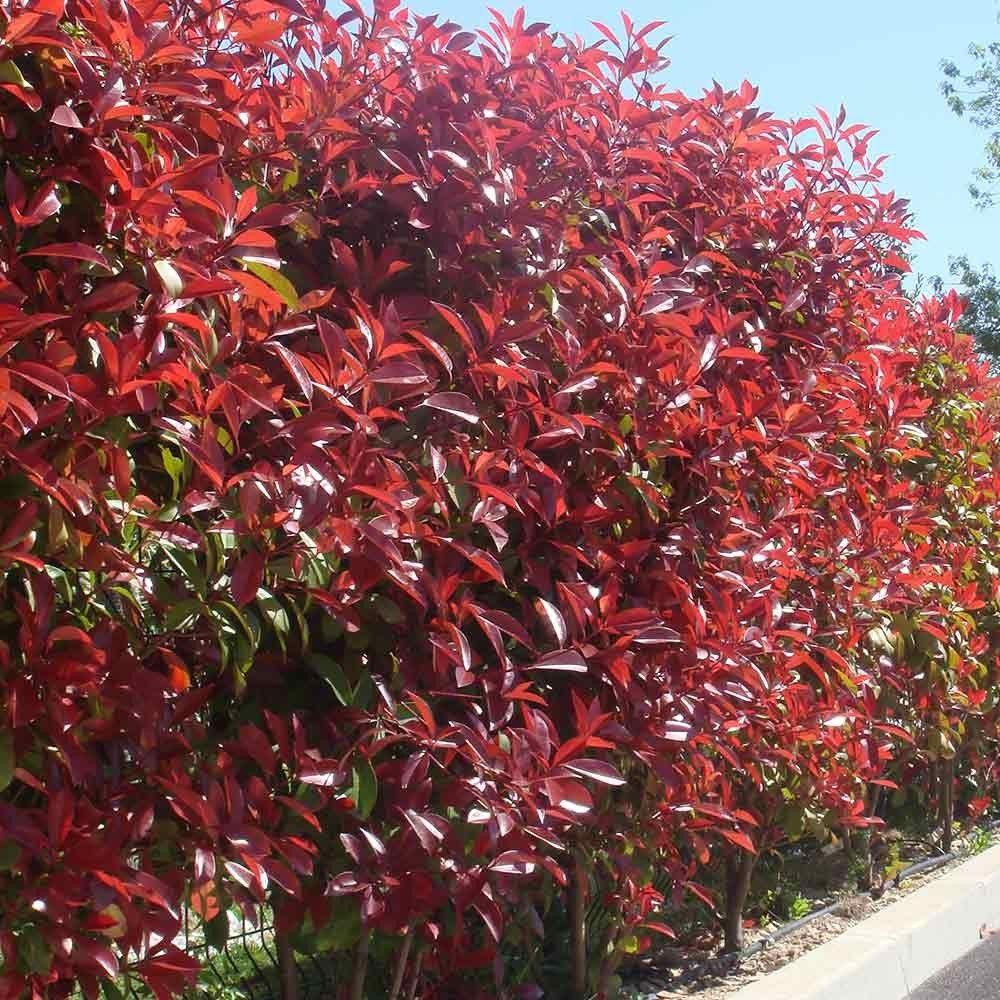 photinia red robin hedging photinia hedge pinterest. Black Bedroom Furniture Sets. Home Design Ideas