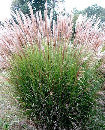 Miscanthus sinensis gracillimus cot jardin pinterest for Achat en ligne jardinage