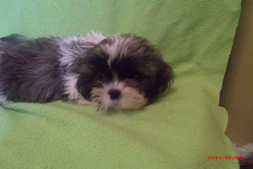 Shih Tzu Puppy For Sale In Paterson Nj Adn 20553 On Puppyfinder