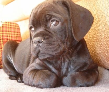 Pug And Chocolate Labrador A Puglador Puppies And Kitties