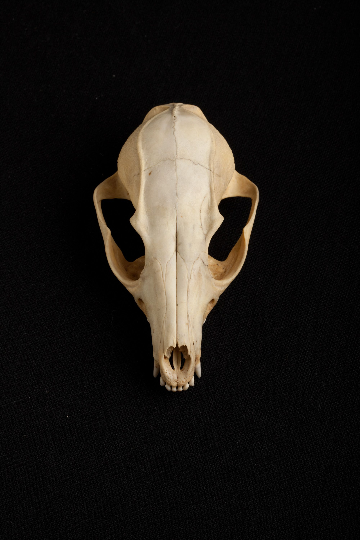 Red fox skull. Image credit: Josh Franzos/Carnegie Museum of Natural ...