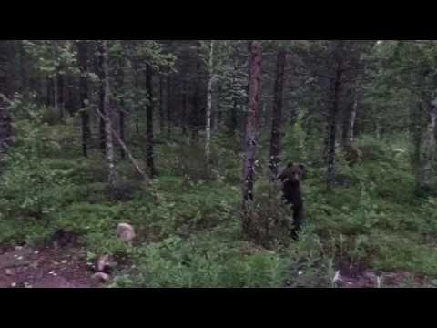 Finnish Man Scares A Bear Away By Shouting Perkele