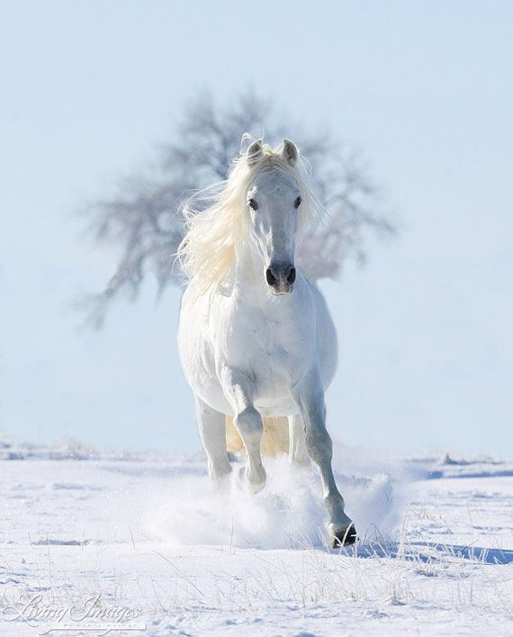 "Two Galloping White Welsh Ponies//Horses on Snow Field 24/"" x 36/"" Canvas Prints"