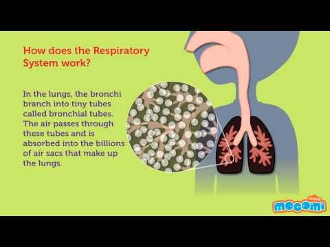 how lungs work Your lungs do more than move oxygen in and carbon dioxide out of the body   anything you breathe in can harm how well your lungs work and can make.
