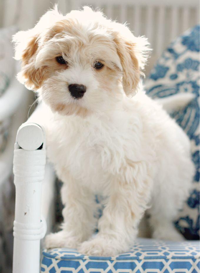 Maltalier Maltese X Cavalier King Charles Designer Dogs Breeds