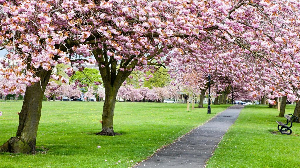 Know The Right Time To Approach Tree Surgeons In Richmond Cherry Blossom Harrogate Tree Surgeons