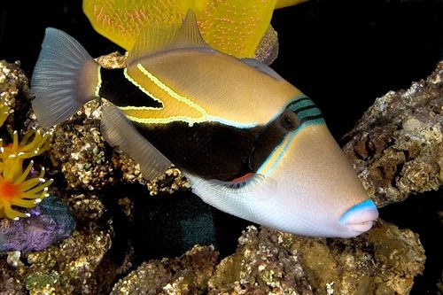 Humuhumunukunukuapuaʻa State Fish Of Hawaii Reef Triggerfish Or Rectangular Triggerfish Rhinecanthus Rectangulus Fish Betta Fish Family Pet