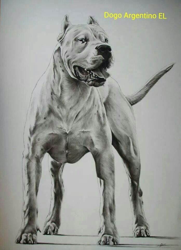 Dogo Argentino Pencil Drawing | Dogo Argentino ☀ | Dog ...