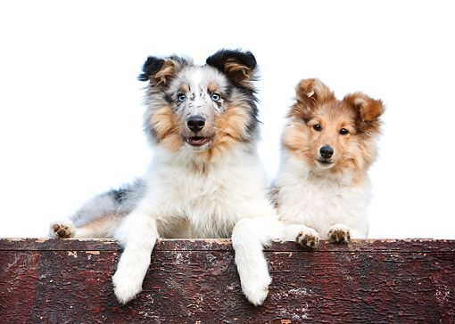 DOG 01 CB0164 01 © Kimball Stock Shetland Sheepdog With Puppy Laying On Deck