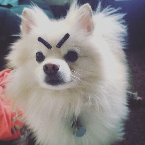 ポメラニアンに眉毛を装着してみたけど こんなに変わっちゃうなんて思わなかった らばq Dog With Eyebrows Angry Dog Dogs