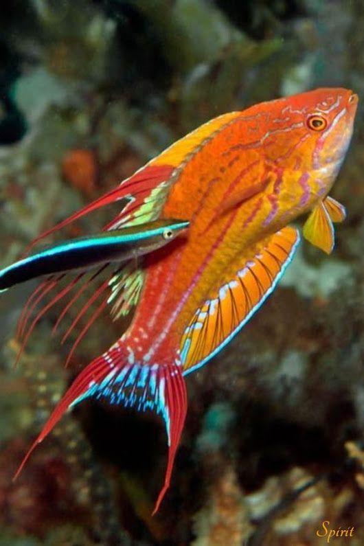 Pin By Armando Hernandez On Mandarin Fish Fish Saltwater Aquarium
