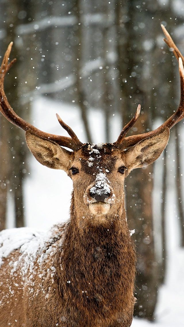 Deer phone wallpaper iphone backgrounds in 2019 deer - Browning deer cell phone wallpaper ...