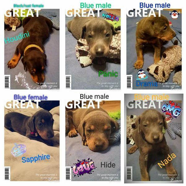 Litter Of 6 Doberman Pinscher Puppies For Sale In Bolivar Tn Adn