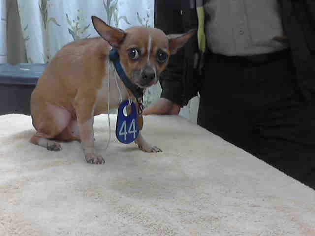 Texas Urgent Bucky Id A396830 Is A 7yo Chi In Need Of A Loving Adopter Rescue At Harris County Public Health Environm Dog Adoption Pets Homeless Pets