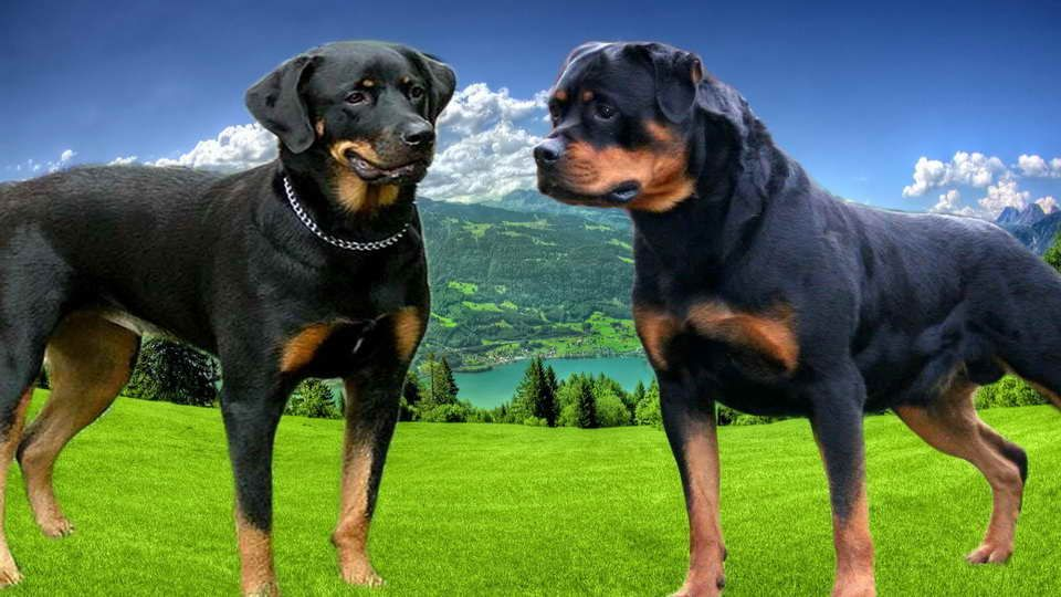 American Rottweiler Vs German Rottweiler German Rottweiler