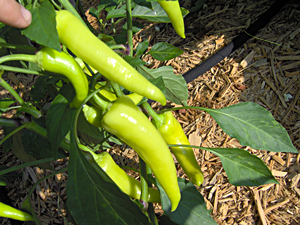 How to pick banana peppers need to know 39 cause i just - How to can banana peppers from your garden ...