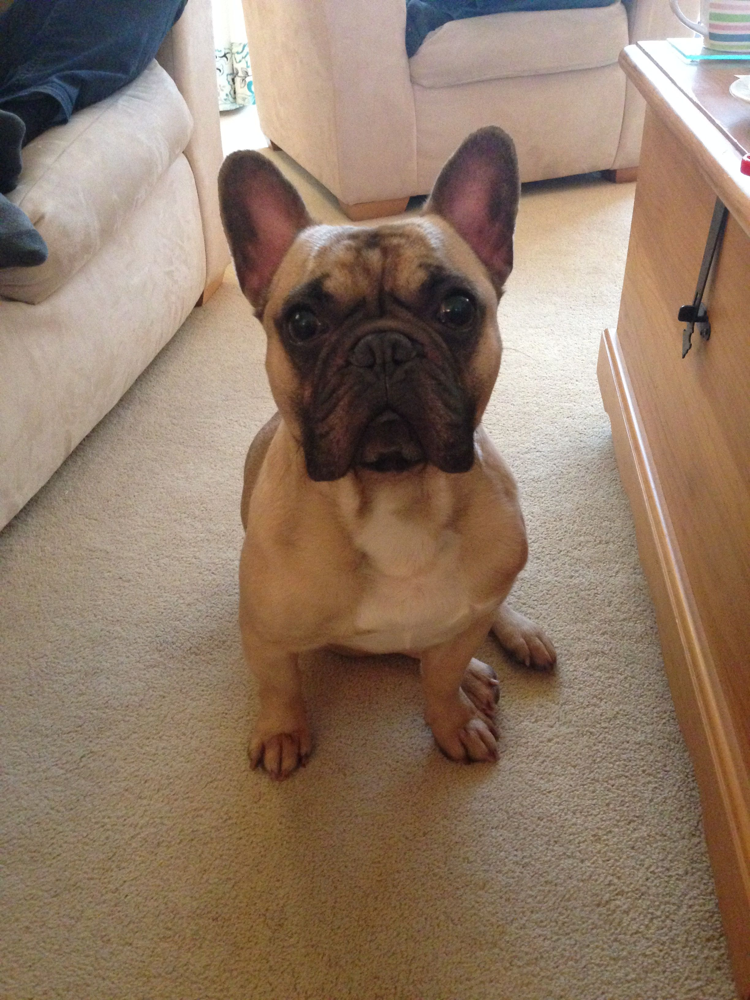 Pin By Alicia Warr On Henry The Adorable French Bulldog Cute