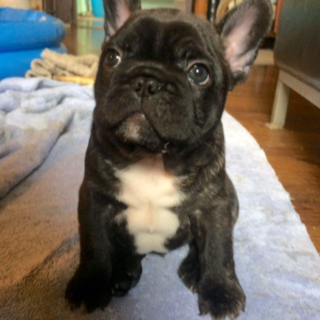 Litter Of 4 French Bulldog Puppies For Sale In San Diego Ca Adn