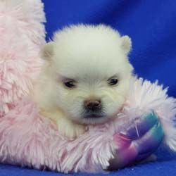 Pomeranian puppies for sale Pomeranian breeder Impressivepom