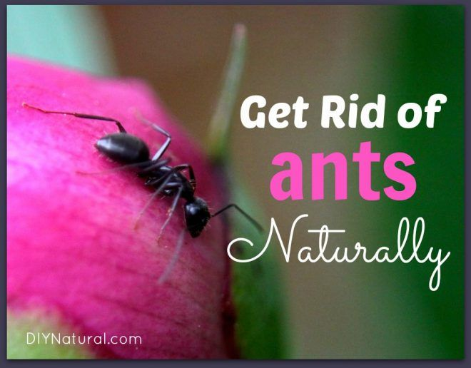How To Get Rid Of Ants Naturally Eliminate House Ants Carpenter Ants Rid Of Ants Get Rid Of Ants Ants