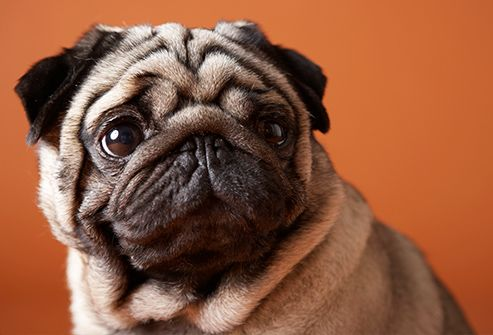 Slideshow Long Living Dog Breeds Pugs Pugs Pugs 5 Sections