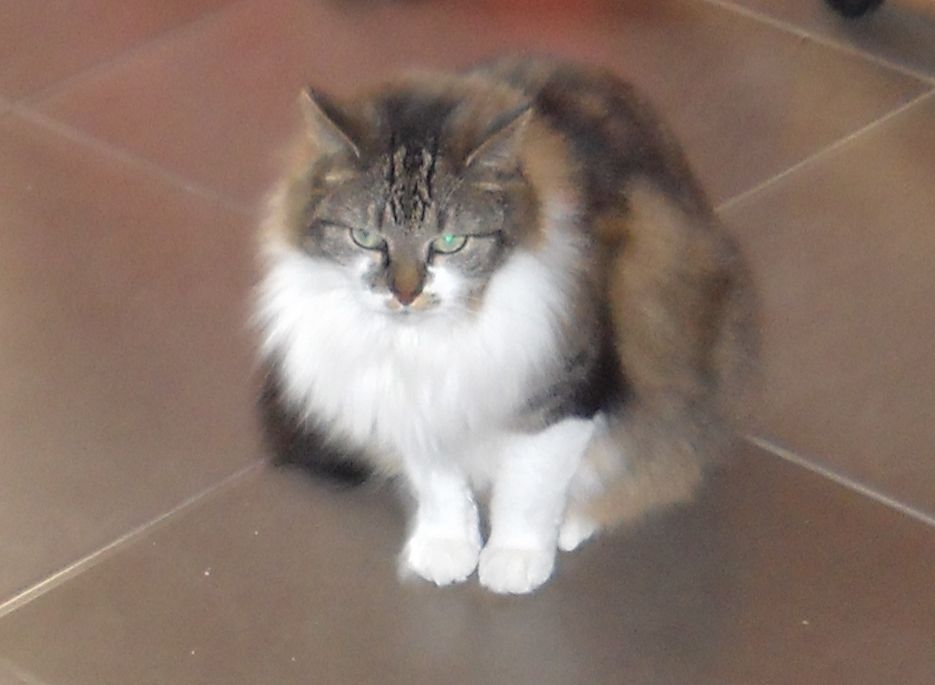 Liselotje, my female Maine Coon cat