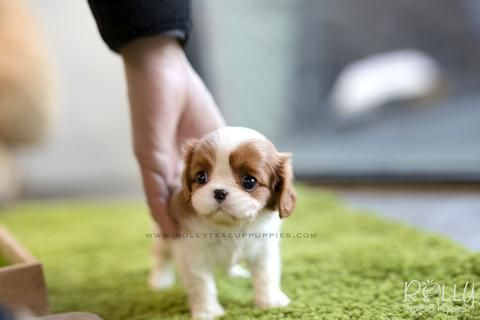 Rolly Teacup Puppies / Rolly Pups, Inc