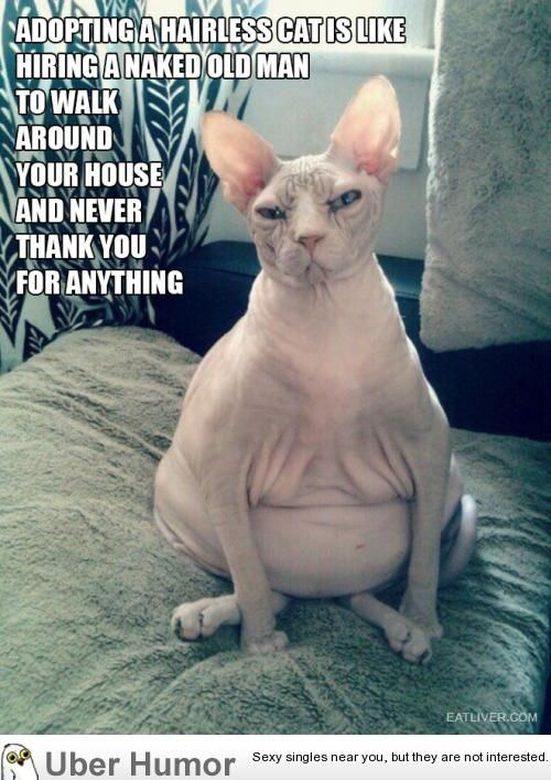 funny lol the truth about owning a hairless cat daily funny