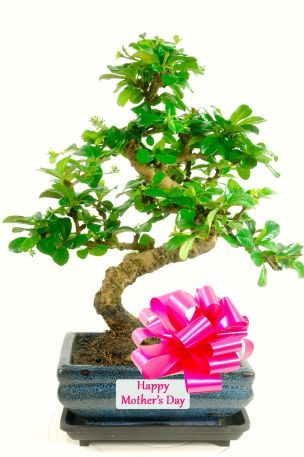 Elegant Flowering Twisty Bonsai Tree - Perfect for Mother's Day This is a very tasteful flowering bonsai gift with Happy Mother's Day plaque label and drip ...