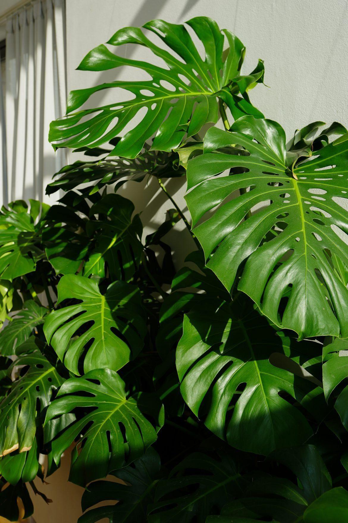 Monstera Dziurawa Czyli Kwiaty Doniczkowe W Moim Domu Cz 3 Basia Szmydt Blog Plant Leaves House Plants House Plants Decor