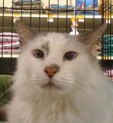 Cricket Is An Adoptable Ragdoll Cat In Austin Tx You Can Fill Out An Adoption Application Online On Our Official W Here Kitty Kitty Pet Finder Siamese Rescue