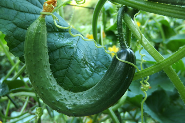 The Best Companion Plants For Cucumbers In The Backyard 400 x 300