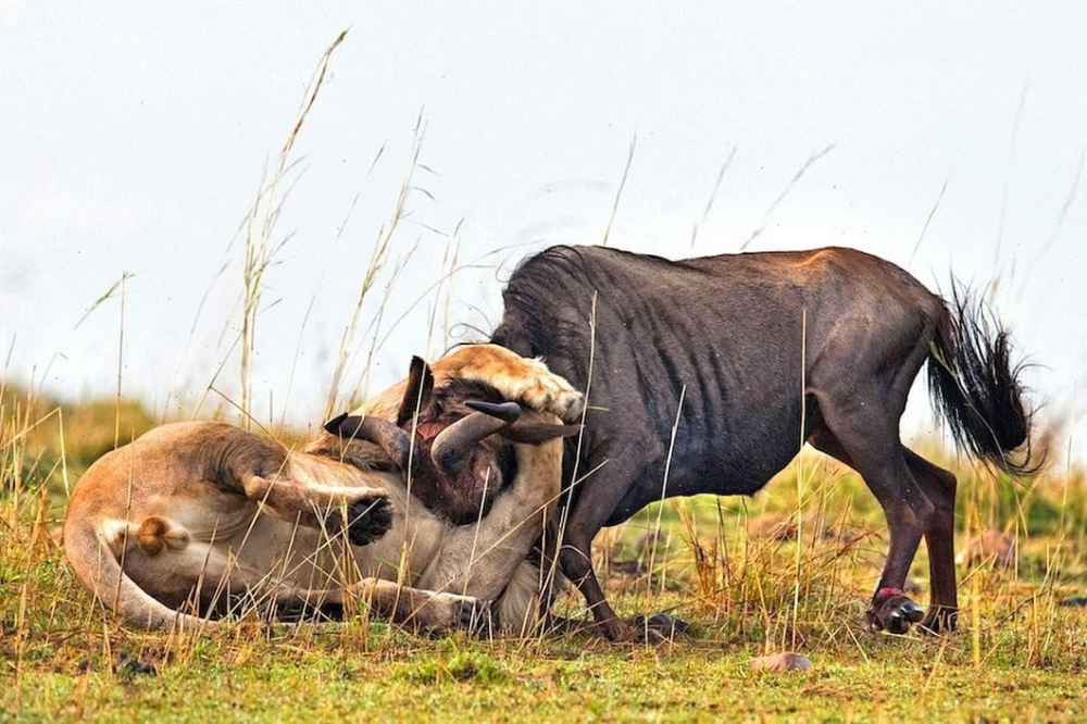 Dramatic Photos Of Lion Hunt A Wildebeest