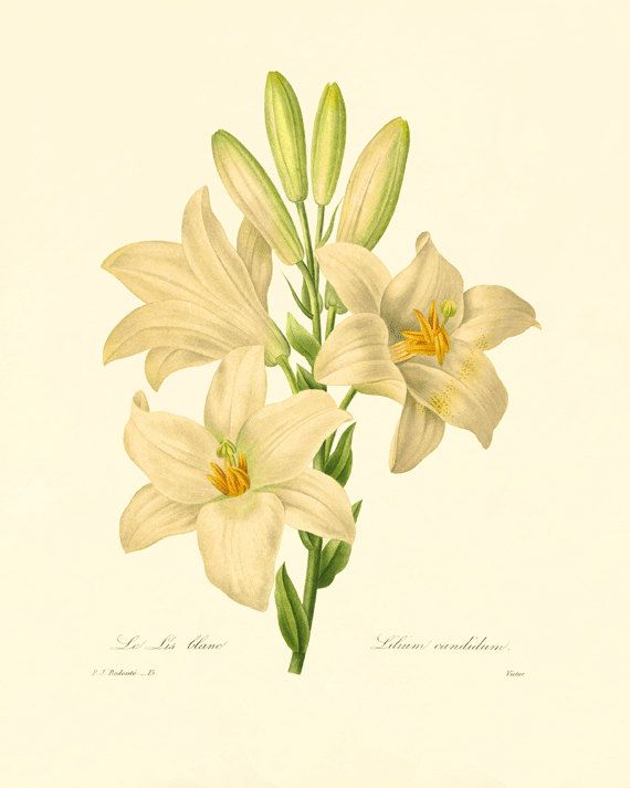 White Lily Vintage Flower Art Print Cottage Wall Art Victorian Etsy In 2020 Flower Prints Art Botanical Art Botanical Illustration