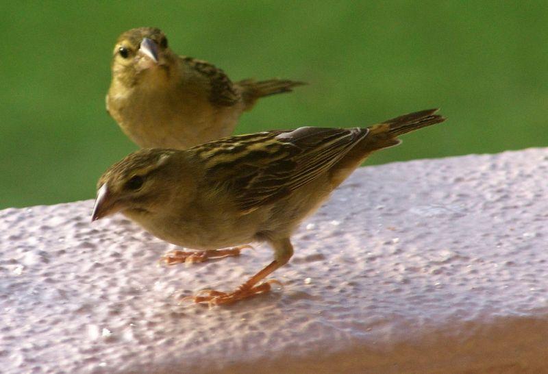 Bestand:Madagaskar wevervogel01.jpg