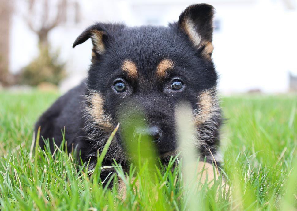 Pin On German Shepherd Puppies Dogs