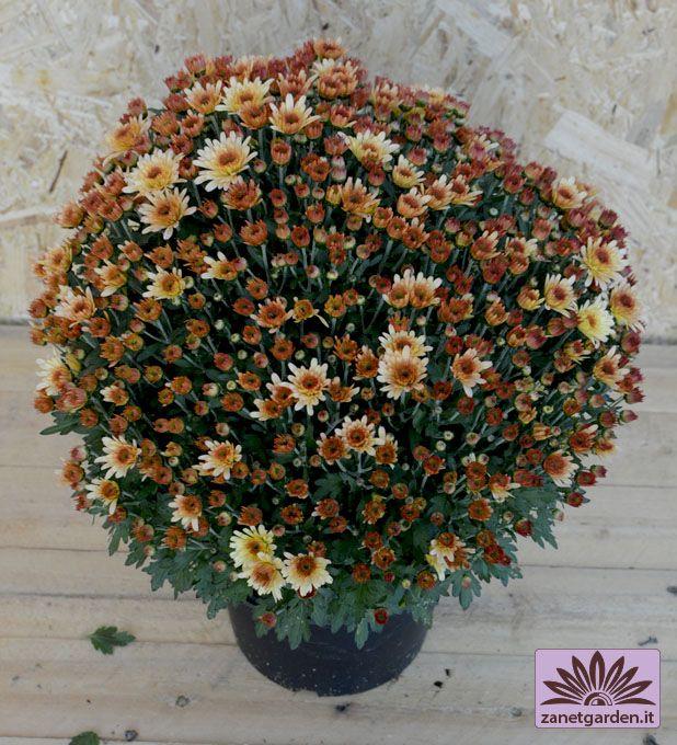 vaso di crisantemi a margherita
