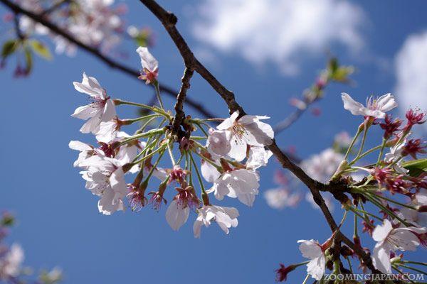 Beneath The Blossoms Blossom Trees Beautiful Tree Beautiful Flowers